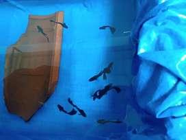Hay Gans jual Ikan Guppy Black Moscow F1 Pilihan Umur 3 Bulan /35 K