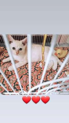 Cari kucing anggora/persia mix dome