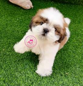 Anjing Shihtzu lucu