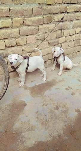 Bully gulter Extend quality heavy bone dog jisa chia sirf hi rabta kra