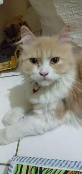 kucing persia jantan + kandang