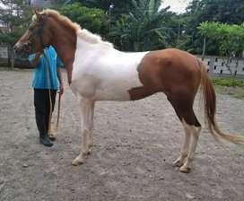 Kuda Betina Belang Jinak dan Siap Tunggang