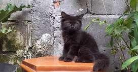 kucing persia medium betina blacksolid lucu
