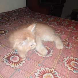 Persion double cote 2 months old kitten