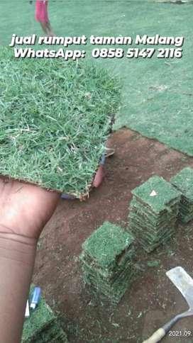 Jual rumput jepang Jember siap tanam harga paling murah