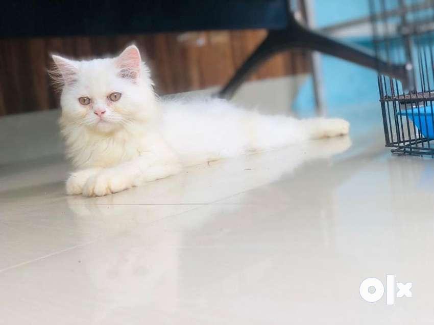 Male kittan semi doll 7500 only 0