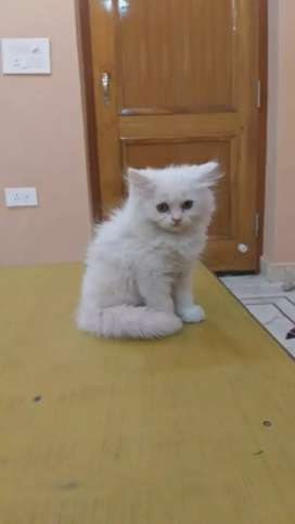 Human friendly Persian kittens available