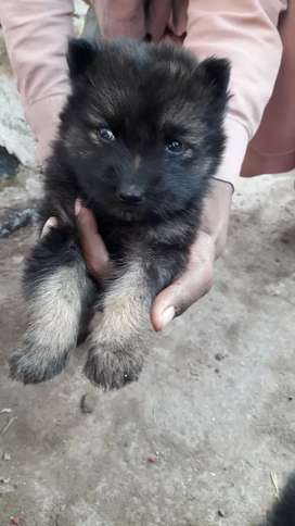German Shepherd  is double cod good puppy only 25 days age off puppy