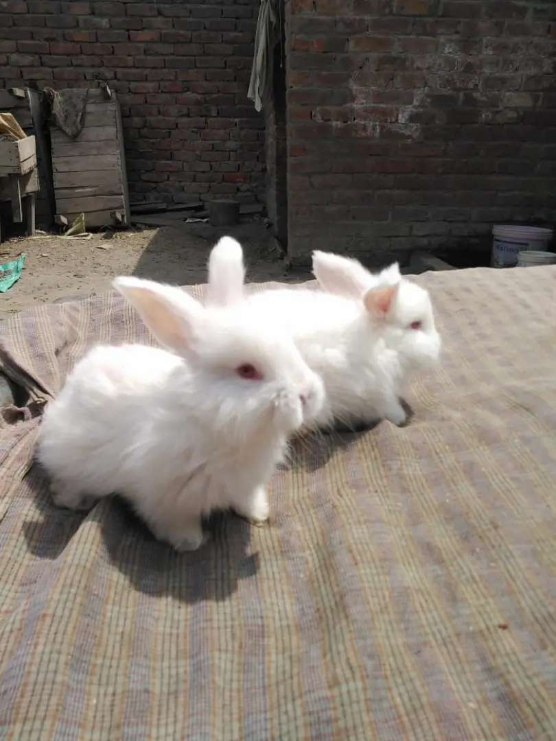 Giant angora bunnies show quality