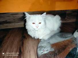 Persian male urgent sale