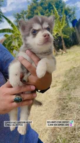 Anjing siberian husky puppies