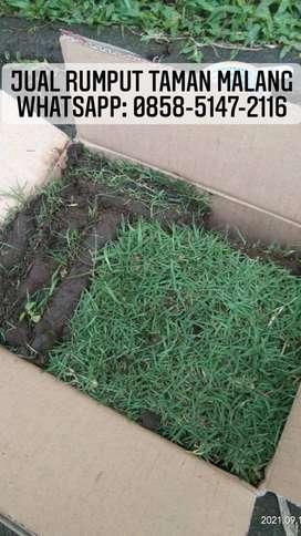 Penjual rumput jepang Nganjuk rumput hidup siap tanam