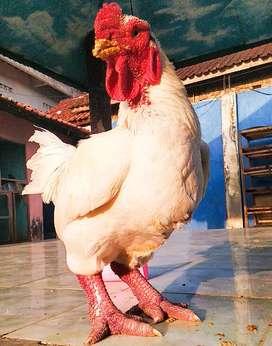 Ayam dong Tao putih paling langka