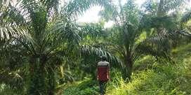 Di jual tanah 20 hektar isi sawit dan pohon karet