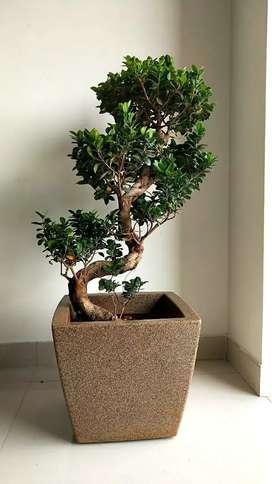 Ficus Bonzai plant.