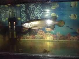Ikan arowana jardini kurleb 22cm