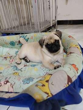 Dijual Segera Anjing Anakan Impor Puppy Pug Betina