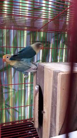 Lovbird PB albino lutino dll
