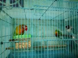 Jual lovebird dewasa 3 ekor siap masuk glodok