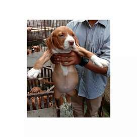 Puppies pitbull betina bigsize