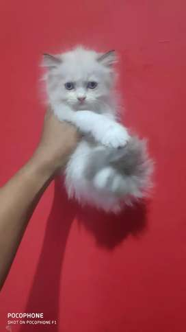 Kucing persia betina, mata biru, sehat n lunch, umur 1,5 bulan