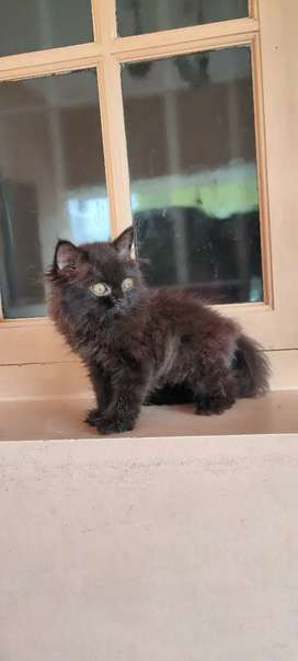 High quality persian kittens with double coat