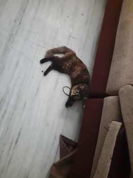 Persian cat for sale female