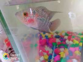 Flower Horan fish high quality