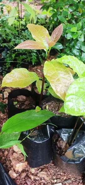Avocado saplings, plants