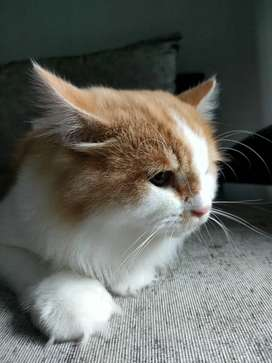 Kucing Persia gembul