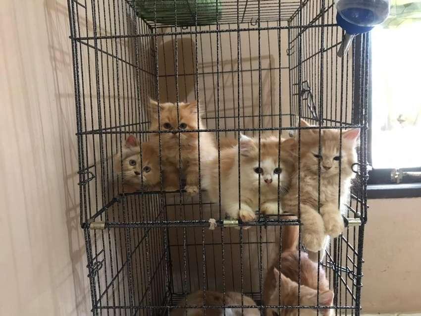 kucing persia gembul (tanjung) 0