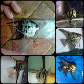 ikan angelfish clown/ manfish clown untuk aquarium dan aquascape