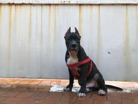Pedigree American Staffordshire Terrier (Chipped)