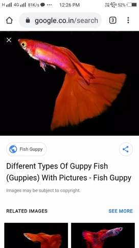 wild red guppy high quality pairs