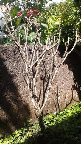 Jual pohon kamboja kecap jual pohon kamboja kecap