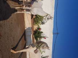 2 fNukri female horses good for riding