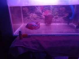 Ikan louhan jenis f2