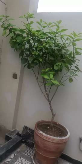 Grey fruit plant(Hybrid catogery) height 6 feet