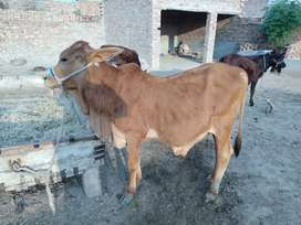 Pure siwal bull for sale.