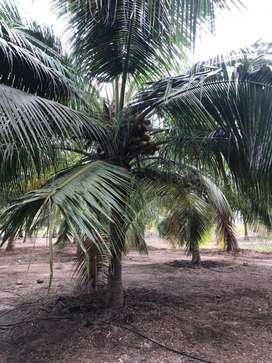 Coconut farm/land/agriland/agriculture land/agricultural land/farmland