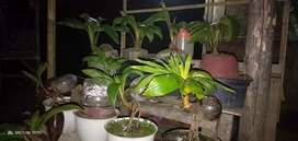 Di jual bonsai kelapa sudah mulai pecah daun