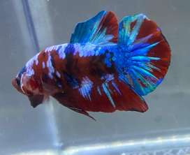 cupang hias red multicolour