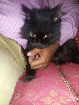 Percian cat||dobble coated||black color||7 month