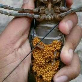 INDUKAN Lobster air tawar size 4 s/d 6 GENDONG TELUR