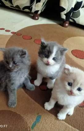 Persian dubble bone kittens male&Female