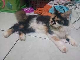 Kucing anggora calico