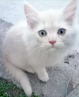 Persion kitten for sale...