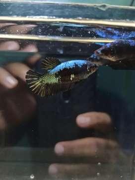 Ikan cupang female black samurai
