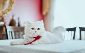 Persian cats for sell and for mating