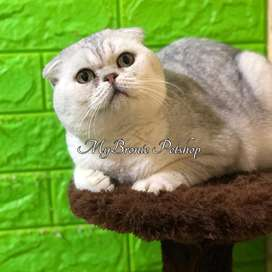 Kucing scottish fold import jantan silver shaded